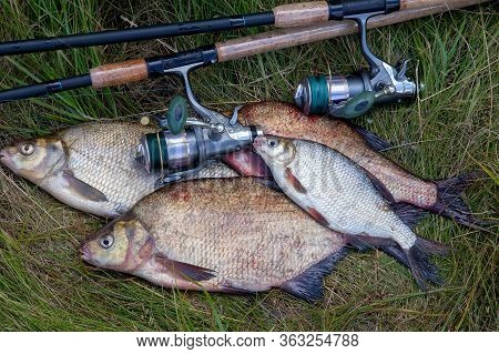 Single Freshwater White Bream Or Silver Bream On Pile Of Bronze Breams Or Carp Breams On Green Grass