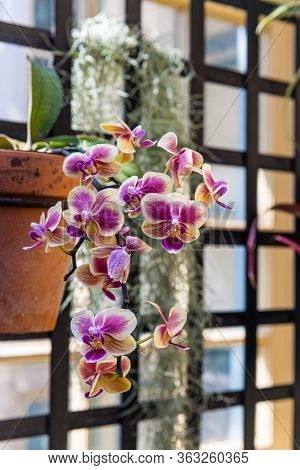 A Soft Focus Hanging Orchid In An Indoor Greenhouse.