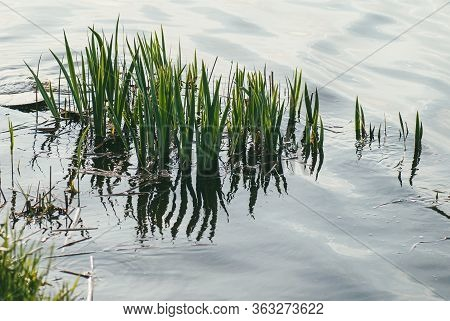 Swamp Grasses And Algae Stick Out Of The Lake Water. Cloudy Day Photography