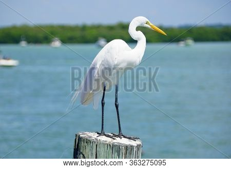 A White Egret Standing On A Pole By The Canal Near Madeira Beach, Florida, U.s.a