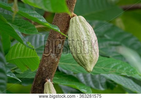 Theobroma Cacao, The Cacao Tree And The Cocoa Tree, Is A Small Evergreen Tree In The Family Malvacea