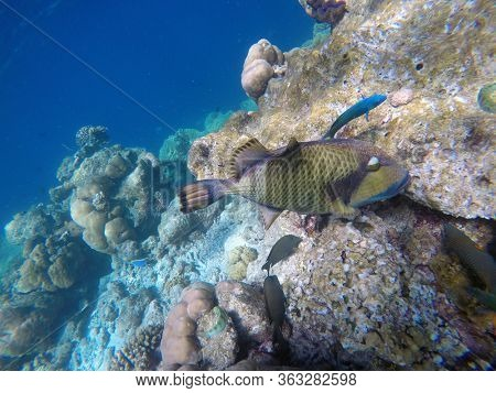 Titan trigger fish in the open water. Indian ocean, Maldive islands. Titan trigger fish is dangerous for divers due to aggressive behaviour-