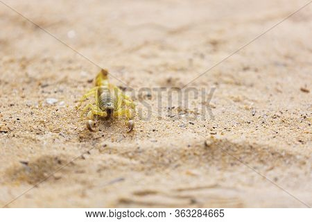 Yellow Deathstalker Scorpion Close Up. Scorpion With A Curled Tail In The Sand. Wild Arachnid In The