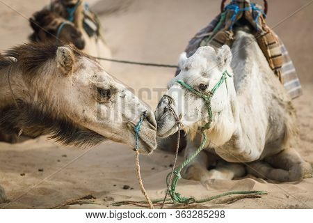 Two Camels In Profile. Lovely Relationship Between Animals. Love In Mammals. Desert Travel. Dromedar