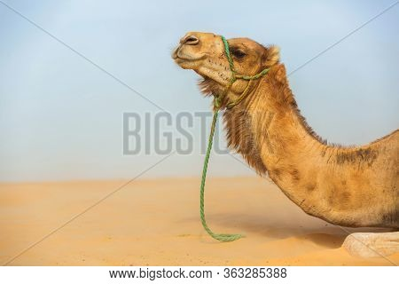Camel Head In Profile With Ropes On Face. Harnessed Camel. Portrait Of A Mammal. Dromedary Close Up