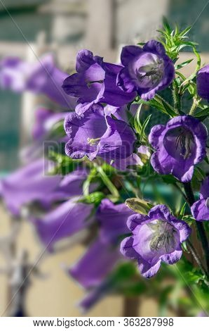 This Vertical Image Is Light Purple Canterbury Bell Flowers Campanula Medium Growing In A Summer Gar