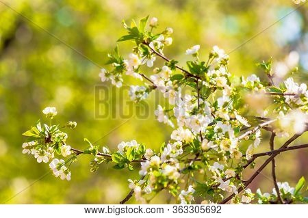 Apple Branch In White Blossom. Beautiful Green Nature Background On A Sunny Day In Spring. Blurred B
