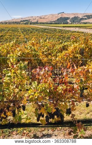 New Zealand Pinot Noir Grapevine Vineyards With Ripe Grapes And Autumn Leaves