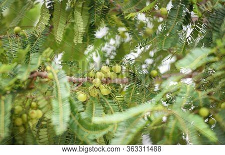 Indian Gooseberries Or Amla Fruit On Tree With Green Leaf / Phyllanthus Emblica Traditional Indian G