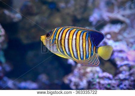 Royal Angelfish Pygoplites Diacanthus, Also Known As The Regal Angelfish.