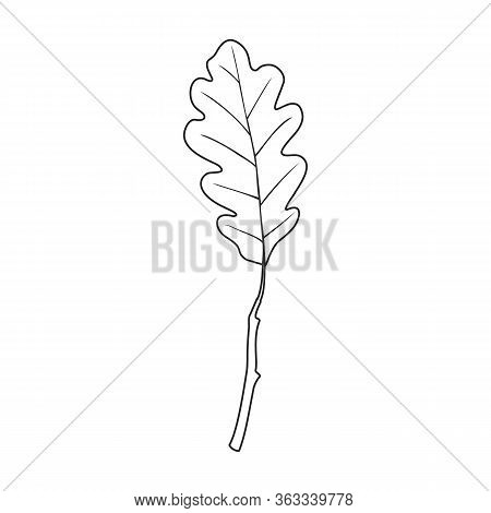 Oak Leaf Vector Icon.outline Vector Icoon Isolated On White Background Oak Leaf.