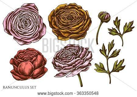 Vector Set Of Hand Drawn Colored Ranunculus Stock Illustration