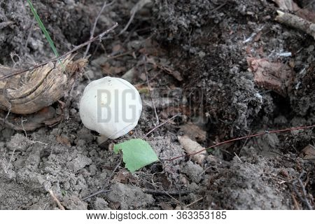 Little White Mushroom. Inedible Small Mushroom Of White Color.