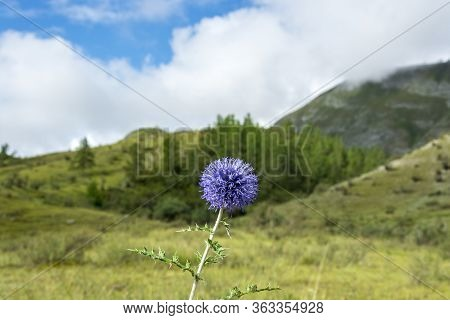 Blue Flower, Prickly Plant Grows In A Mountain Valley. In The Background Are Mountains And Sky, The