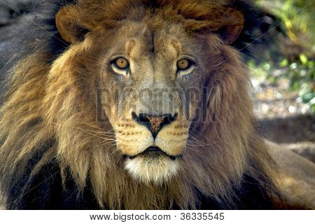 Curious African Lion