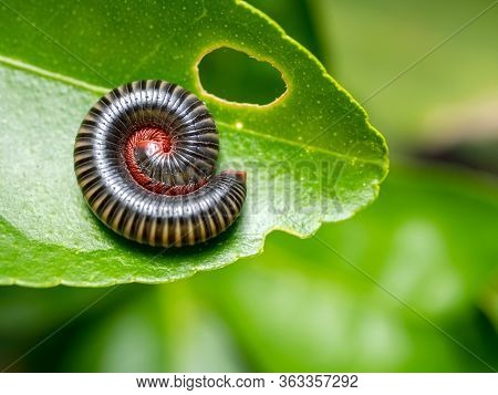 Millipedes Curled Into Spiral On Green Leaves In Deep Tropical Forest Of Thailand .millipedes Are Th