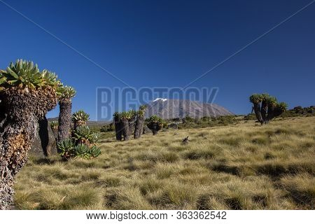 Breathtaking View At The Mount Kilimanjaro With Giant Senecias In The Foreground