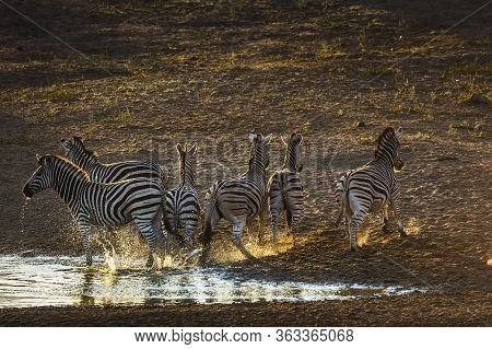 Group O F Plains Zebras Running Away In Waterhole At Dawn In Kruger National Park, South Africa ; Sp