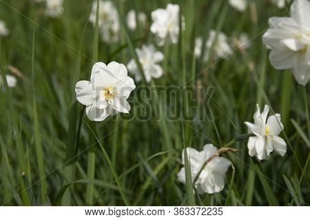 Narcissus Flower In Spring Garden. Narcissus Daffodil Flowers And Green Leaves Background.