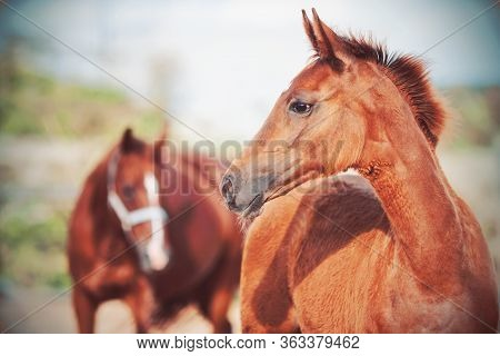 Portrait Of A Cute Chestnut Colt With A Fluffy Mane, Behind Which Stands His Mother With A Halter On