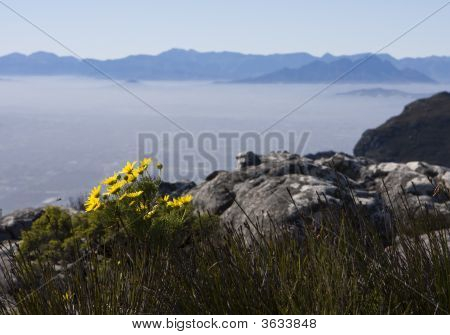 Daisies On Table Mountain
