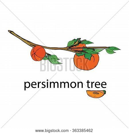 Persimmons On Tree Branch. Ripe Persimmons On A Branch With Leaves. Persimmons For Korean Chuseok Ho