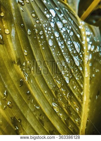 Raindrops On A Background Of Nature Leaves. Palm Tree Leaves Nature Background. Nature. Close Up Pal