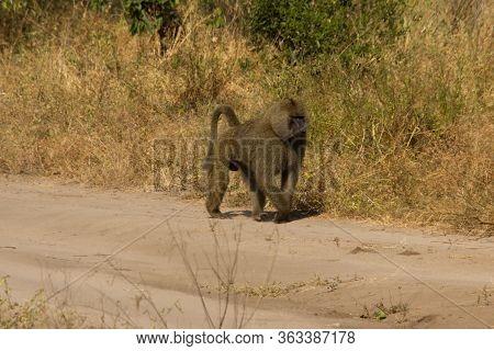 Baboon Walking On An Earthy Way On A Sunny Day