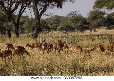 Herd Of Gazells In An African Savannah