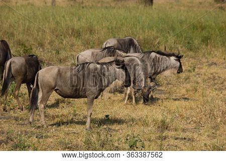 Herd Of Gnus In An African Savannah