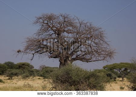 Leafless Babobab In The  African Steppe On A Cloudless Day
