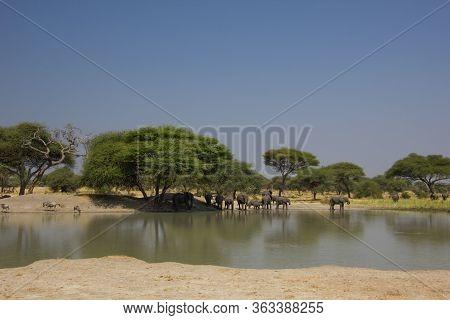 Billabong In Tanzania With Elephants Under Baobabs
