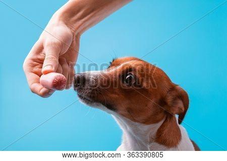 The Dog On A Blue Background Sniffing Sausage, Tease Sausage, Pop-eyed