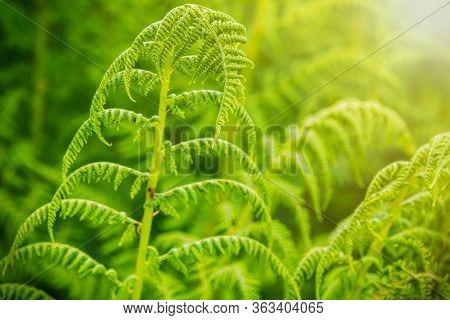 Fern In The Darker Thicket Of The Forest In Sunset Light. Greem Fern Pteridium Aquilinum Or Bracken,