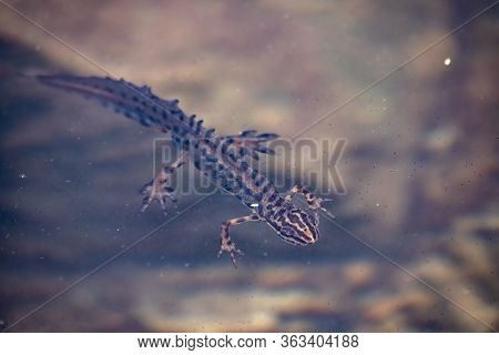 Smooth Newt Swims In A Muddy Pond. Smooth Newt, Lissotriton Vulgaris Lantzi, Captured Under Water In