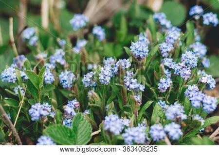 Forget Me Not. Beautiful Blooming Blue Forget-me-nots Flowers In Green Fresh Grass With Water Drops.