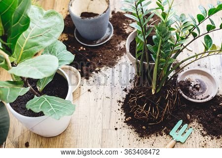 Repotting Plants At Home. Ficus Lyrata Tree And Zamioculcas Plant On Floor With Roots, Ground And Ga