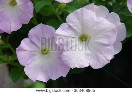 Petunia ,petunias In The Tray,petunia In The Pot, Light Violet Color Petunia, Lilac Color