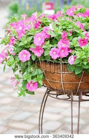 Petunia ,petunias In The Tray,petunia In The Pot, Pink Color Petunia