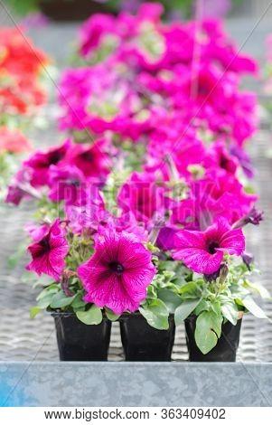 Petunia ,petunias In The Tray,petunia In The Pot, Burgundy Purple Color Petunia