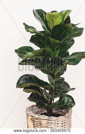 Beautiful Fiddle Leaf Tree In Rustic Pot On White Background.ficus Lyrata. Fresh New Green Leaves Gr