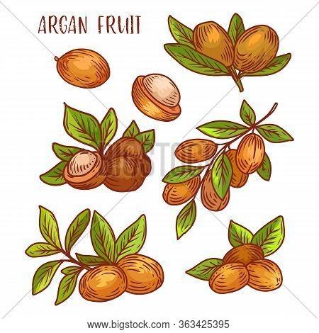 Argan Fruits, Plant Branches Sketch Icons, Vector