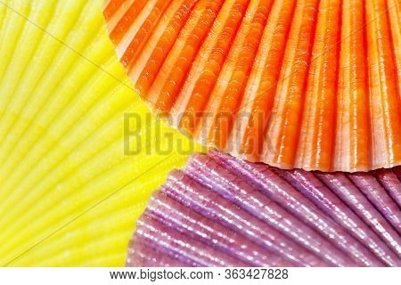 Orange, Yellow And Purple Brightly Coloured Scallop Shells Of Saltwater Clam (marine Bivalve Mollusc