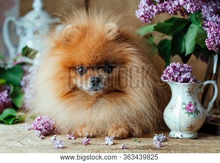 Pomeranian Dog In Spring Flowers. Pomeranian Dog With Bouquet Of Lilac.