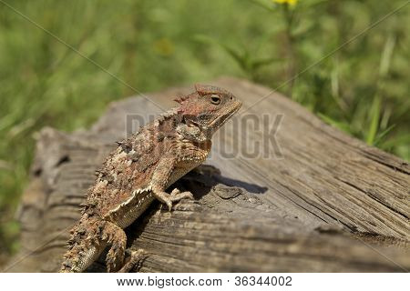 an colorful exotic looking arizona horned toad poster