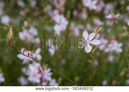 White Gaura Or Beeblossom (gaura Lindheimeri) Plant Blooming In A Meadow