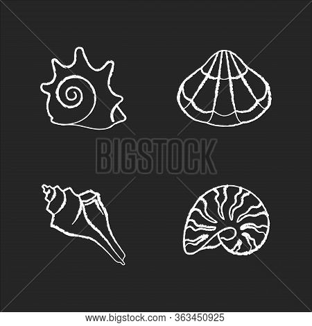 Various Seashells Chalk White Icons Set On Black Background. Sea Shells Collection Hobby, Conchology