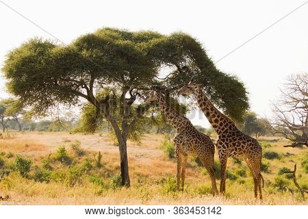 Two Beautiful Giraffes In Front Of A Babobab