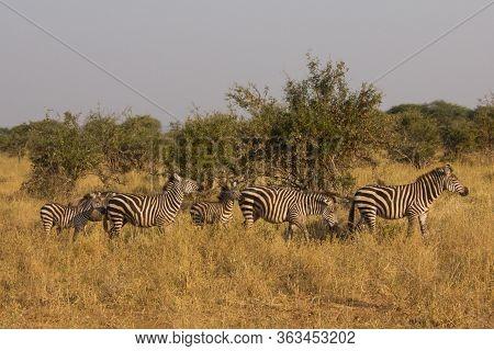 Zebras In An African Savannah Under Golden Sunlight