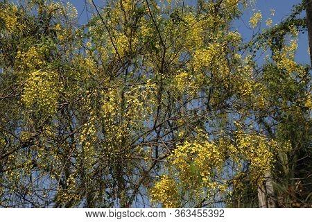 Cassia Fistula Flowers (konnappoovu) In A Tree, Kerala, India